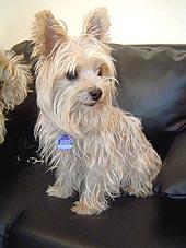 Hundewellness Salon Sunrico Bildergalerie Kundenhunde Yorkshire